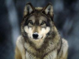 wolfthewerewolf