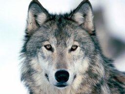 WolfMaster